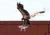 Imagem de: Não vale a 'pena': águias que caçam drones são aposentadas pela polícia