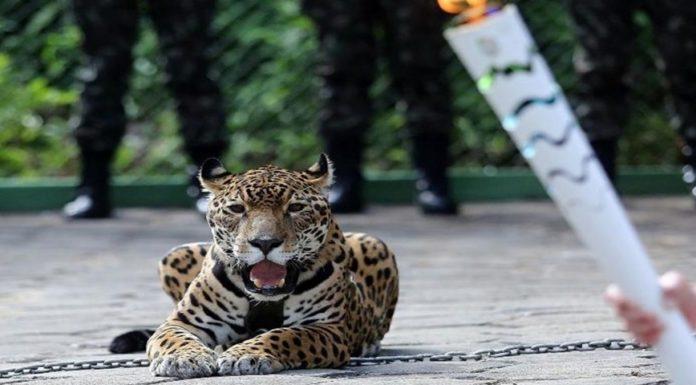 Imagem de: Péssima ideia: internet reage à morte de onça em evento das Olimpíadas