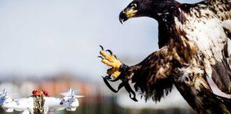 Imagem de: França está usando águias para se defender de drones invasores